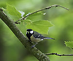 Great Tit with with food for chicks, Parus major