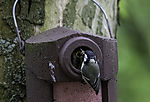 Great Tit feeding at nesting box, Parus major