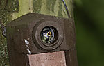 young Great Tit in nesting box, Parus major