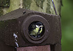young Great Tit and Fly, Parus major