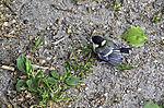 junge Kohlmeise landet bei erstem Ausflug auf dem Boden, Parus major