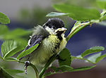 young Great Tit in bush; Parus major