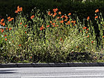 street greening with Red Poppy, Papaver sp.