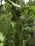 Ladybird and Plant Louse on Thistle