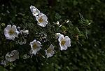Burnet Rose, Rosa spinosissima