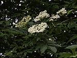 flowering Elder, Sambucus