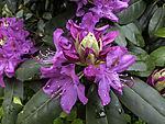 Rhododendron rote Blüten