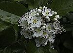 flowering Hawthorn, Crataegus monogyna