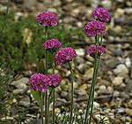 Gewöhnliche Grasnelke Blüten, Armeria maritima