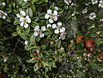 Bearberry Cotoneaster blossoms and fruit, Cotoneaster dammeri