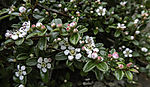 Bearberry Cotoneaster blossoms, Cotoneaster dammeri