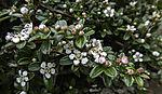 Teppich-Zwergmispel Blüten, Cotoneaster dammeri