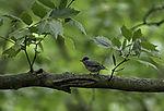 Blackcap male; Sylvia atricapilla