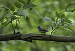 Mönchsgrasmücke Männchen; Sylvia atricapilla