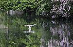 Greylag Goose landing, Anser anser