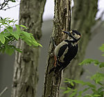 Great Spotted Woodpecker, Dendrocopus major