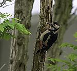 Buntspecht, Dendrocopus major