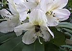 Hummel in Rhododendronblüte