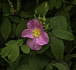 Common Wild Rose, Rosa nutkana