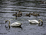 Greylag Geese family and Mute Swans on lake Alster, Anser anser, Cygnus olor