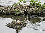 Bald Coot meets Great crested Greebe on nest, Fulica atra, Podiceps cristatus