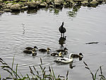 Bald Coot looks at Mallard with chicks, Fulica atra, Anas platyrhynchos