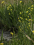 flowering Yellow Iris; Iris pseudacorus