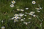 flowering Oxeye Daisy Flower, Leucanthemum vulgare