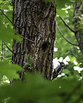 Spotted Woodpecker befor nesting cave; Dendrocopus major