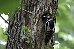 Spotted Woodpecker male befor nesting cave; Dendrocopus major