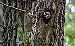 Spotted Woodpecker cleaning nesting cave; Dendrocopus major
