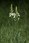 Bath asparagus, Ornithogalum pyrenaicum