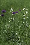 Bath Asparagus and Black-red Leek, Ornithogalum pyrenaicum, Allium aflatunense