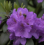 Field Bumblebee on blossom of Rhododendron, Bombus terrestris