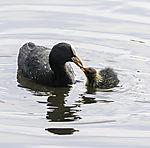 Bald Coot feeding chick, Fulica atra