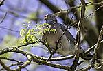 Wood Pigeon feeding on leaves, Calumbus palumbus