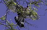Wood Pigeon looking for food, Calumbus palumbus