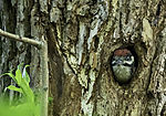 young Spotted Woodpecker looks out of nesting cave, Dendrocopus major