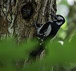 Spotted Woodpecker feeding, Dendrocopus major
