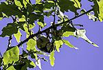 Blaumeise bei Futtersuche; Parus caerulus