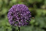 Honeybee on Black-red Leek, Apis mellifera, Allium aflatunense