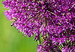 Honeybees on Black-red Leek, Apis mellifera, Allium aflatunense