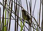 Great Reed Warbler in Reed, Acrocephalus arundinaceus