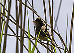 Great Reed Warbler in Reed singing, Acrocephalus arundinaceus