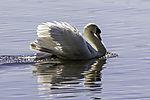 Mute Swan threat, Cygnus olor