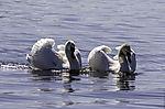 Mute Swans threat, Cygnus olor