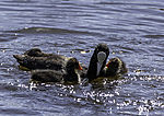 Bald Coot feeding chicks, Fulica atra