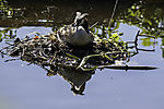 Great Crested Grebe on nest; Podiceps cristatus