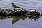 Herring Gulls pair on nest, Larus argentaus