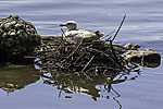 Herring Gull on nest, Larus argentaus